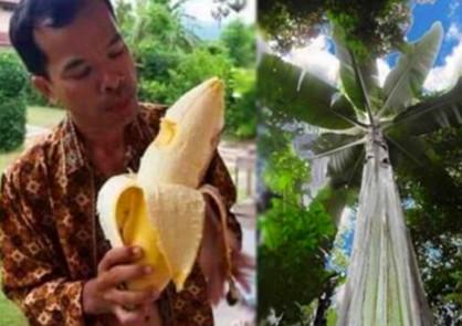 巴新发现高25米巨大芭蕉树 果实够四人同食